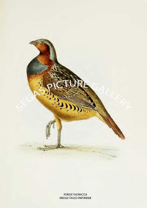 Fine art print of the PERDIX THORACICA - WEDGE-TAILED PARTRIDGE by John Edward Gray (1871)
